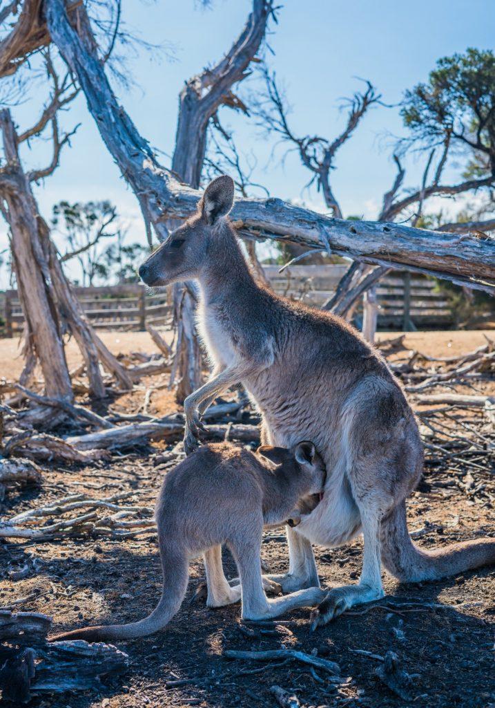 Poche de kangourou